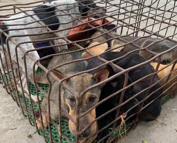 Dùng xe bán tải chở chó đi tiêu thụ, cẩu tặc bị công an bắt giữ ảnh 1