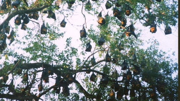 Dơi thường xuất hiện ở vùng nhiều vườn cây ăn quả