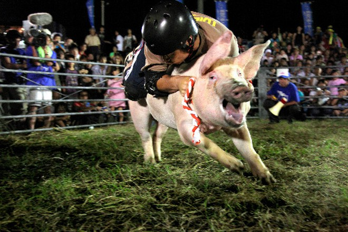 Kỳ quặc cuộc thi đua lợn ảnh 1