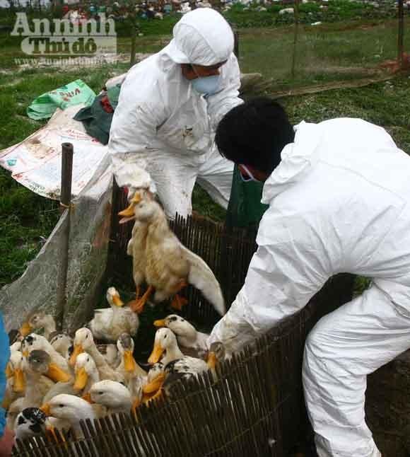 Quảng Trị: Khẩn trương khống chế dịch cúm gia cầm ảnh 4