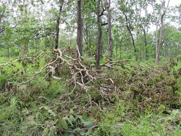 """Vườn quốc gia Yok Đôn: Rừng vẫn """"chảy máu"""" ảnh 5"""