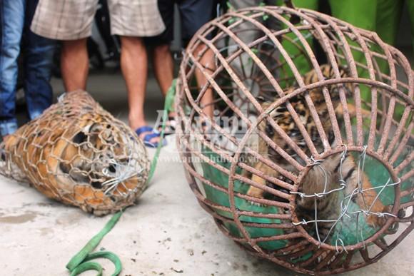 Bàn giao 4 cá thể hổ cho trung tâm cứu hộ động vật hoang dã ảnh 1
