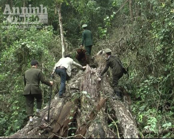 Triệt hạ gỗ nghiến vài trăm tuổi để lấy... thớt bán qua biên giới ảnh 4