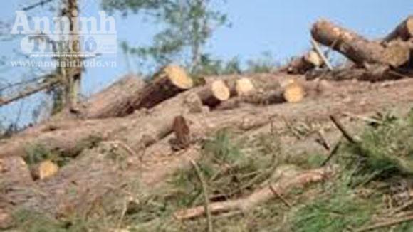 Điều tra, xử lý việc chặt phá rừng phòng hộ ven biển Nhơn Lý ảnh 1