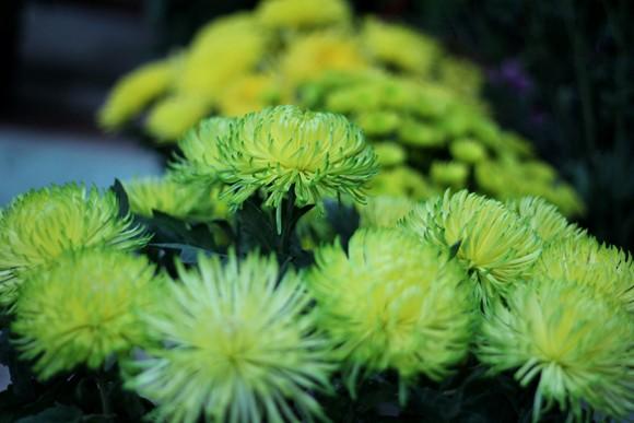 Về Quảng Ninh ghé thăm lễ hội hoa cúc ảnh 7