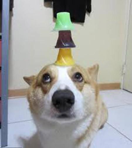 Thú vị chú chó có thể giữ thăng bằng mọi vật trên đầu ảnh 5