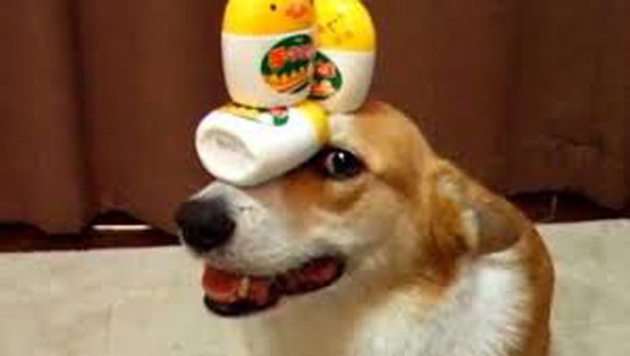 Thú vị chú chó có thể giữ thăng bằng mọi vật trên đầu ảnh 1