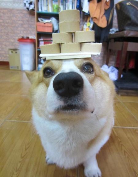 Thú vị chú chó có thể giữ thăng bằng mọi vật trên đầu ảnh 3