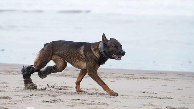 Chú chó khuyết tật chiến đấu chống khủng bố được quân đội Anh trao tặng huân chương cao quý ảnh 3
