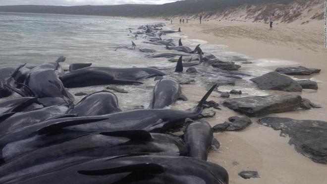Kỳ lạ: Gần 100 con cá voi cùng mắc cạn ở New Zealand ảnh 3