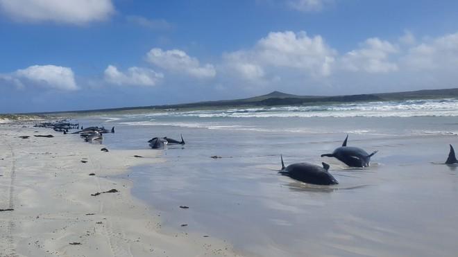 Kỳ lạ: Gần 100 con cá voi cùng mắc cạn ở New Zealand ảnh 2