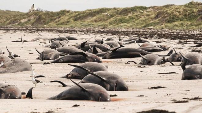 Kỳ lạ: Gần 100 con cá voi cùng mắc cạn ở New Zealand ảnh 1
