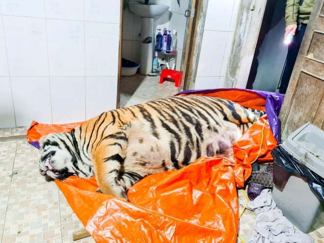 [Tin nhanh sáng 21-1-2021] Chủ nhà mua hổ 250 kg về nấu cao đã ra đầu thú ảnh 1