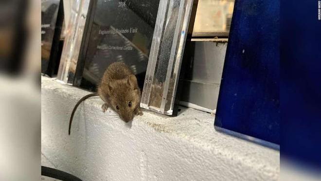 Trại giam ở Australia phải sơ tán nhân viên và phạm nhân vì… chuột ảnh 1