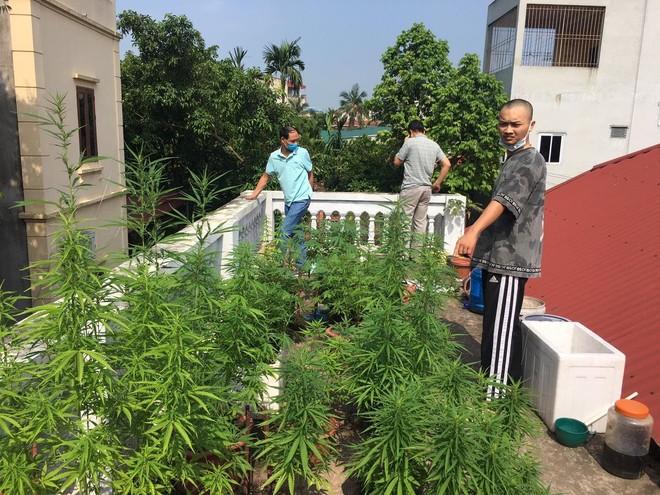 Hà Nội: Nam thanh niên trông hàng chục cây cần sa trên nóc nhà để…ngâm rượu ảnh 1