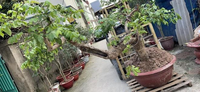 Công an quận Long Biên tìm bị hại vụ mất trộm cây khế ảnh 1