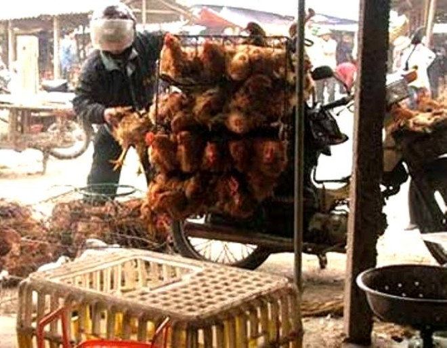 Bất chấp cúm H7N9, hàng nghìn gà vịt lậu vẫn tuồn từ TQ về VN ảnh 1