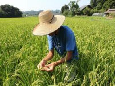 Nhật Bản mở rộng việc cấm bán gạo nhiễm phóng xạ ảnh 1