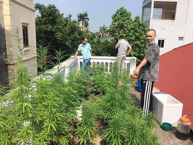 Hà Nội: Liên tiếp phát hiện các vụ trồng cần sa trong nhà, vườn ảnh 1