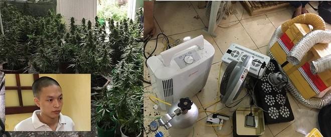 Hà Nội: Liên tiếp phát hiện các vụ trồng cần sa trong nhà, vườn ảnh 3