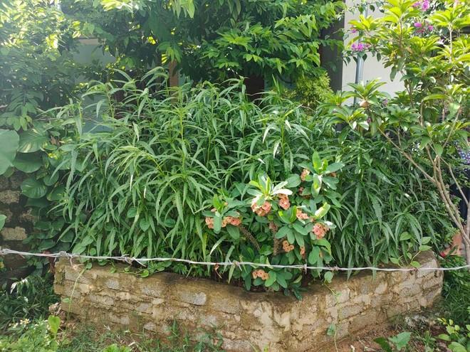 Người đàn ông trồng 117 cây cần sa trong vườn nhà ảnh 1