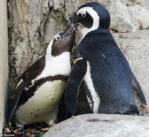 Phát hiện cặp đôi chim cánh cụt đồng tính ảnh 2