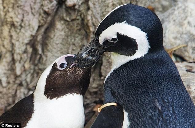 Phát hiện cặp đôi chim cánh cụt đồng tính ảnh 3