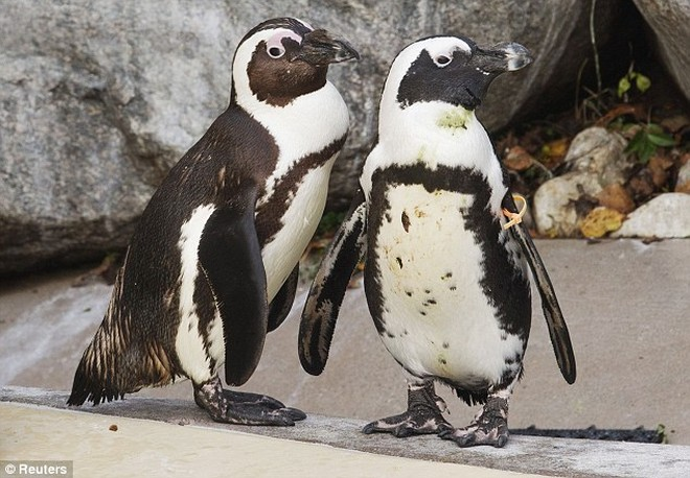 Phát hiện cặp đôi chim cánh cụt đồng tính ảnh 1
