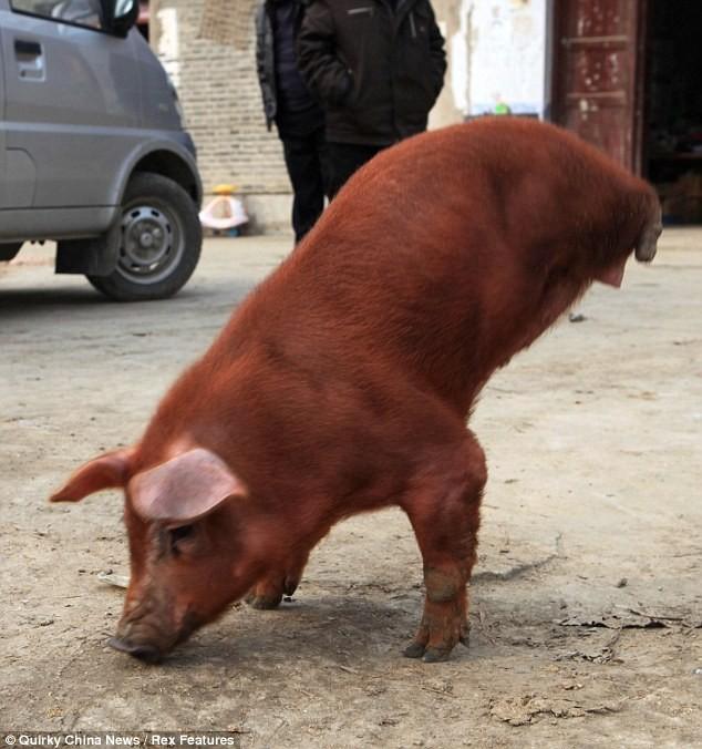 Kỳ lạ chú lợn đi bằng hai chân trước ảnh 3