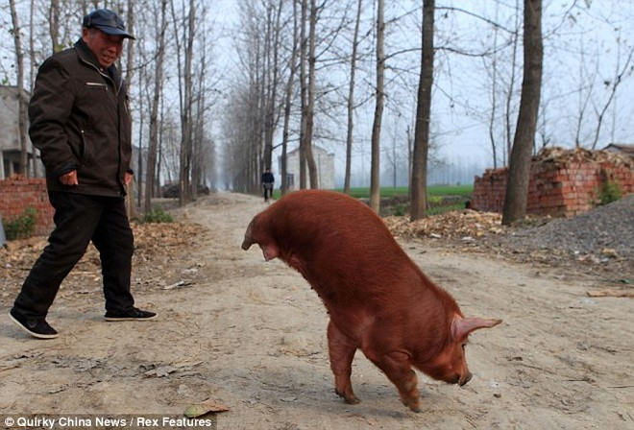 Kỳ lạ chú lợn đi bằng hai chân trước ảnh 1