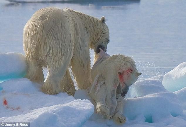 """Lo ngại gấu Bắc Cực thành """"quái vật"""" ăn thịt lẫn nhau ảnh 2"""