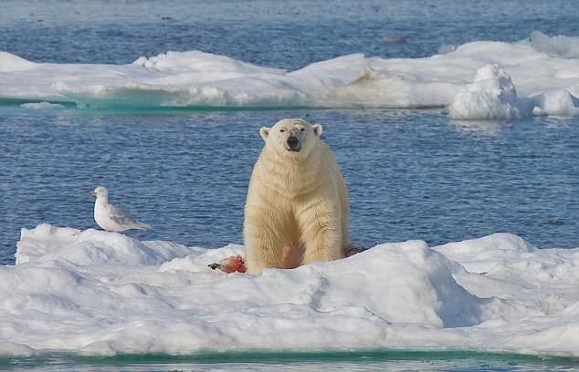 """Lo ngại gấu Bắc Cực thành """"quái vật"""" ăn thịt lẫn nhau ảnh 7"""