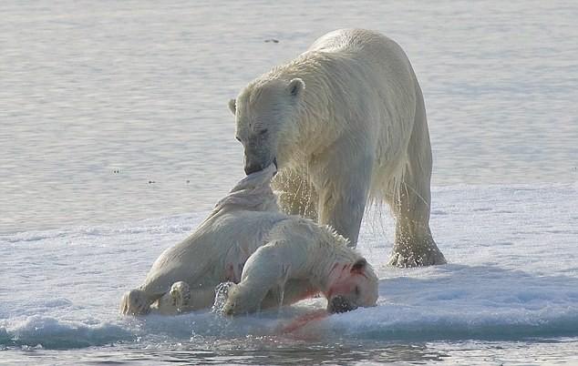 """Lo ngại gấu Bắc Cực thành """"quái vật"""" ăn thịt lẫn nhau ảnh 1"""