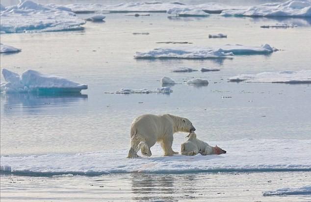 """Lo ngại gấu Bắc Cực thành """"quái vật"""" ăn thịt lẫn nhau ảnh 3"""