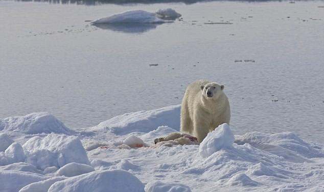 """Lo ngại gấu Bắc Cực thành """"quái vật"""" ăn thịt lẫn nhau ảnh 4"""