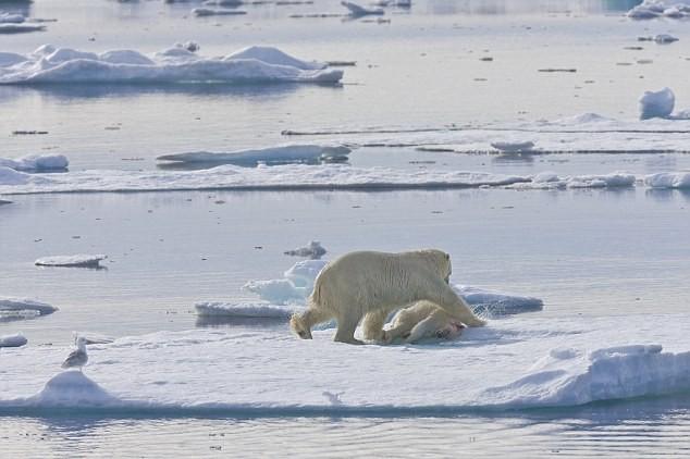 """Lo ngại gấu Bắc Cực thành """"quái vật"""" ăn thịt lẫn nhau ảnh 5"""