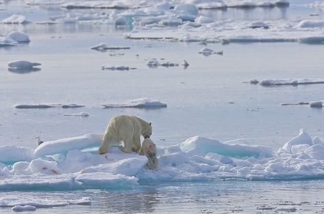 """Lo ngại gấu Bắc Cực thành """"quái vật"""" ăn thịt lẫn nhau ảnh 6"""