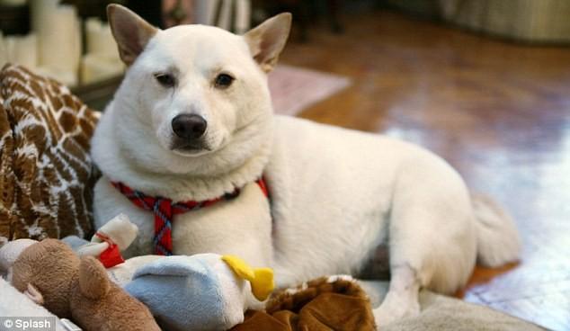 Chú chó bị ngã từ độ cao 15m vẫn sống ảnh 4