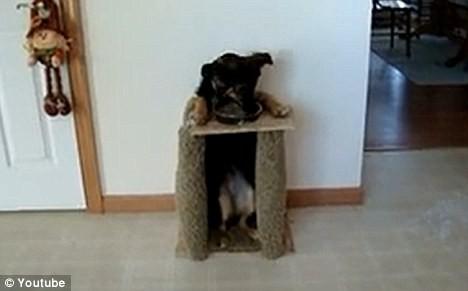Kỳ lạ chú chó tự động đứng bằng hai chân khi ăn ảnh 4
