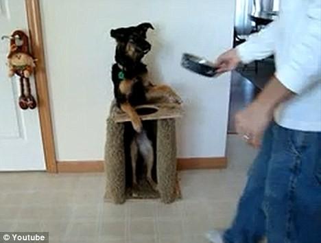 Kỳ lạ chú chó tự động đứng bằng hai chân khi ăn ảnh 3