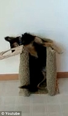 Kỳ lạ chú chó tự động đứng bằng hai chân khi ăn ảnh 2