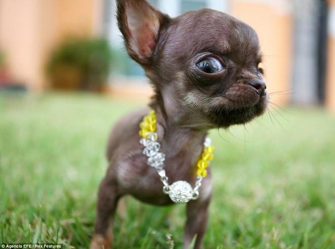 Ngắm nhìn chú chó Chihuahua nhỏ nhất thế giới ảnh 4
