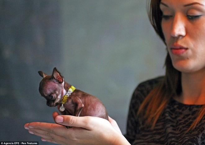 Ngắm nhìn chú chó Chihuahua nhỏ nhất thế giới ảnh 5