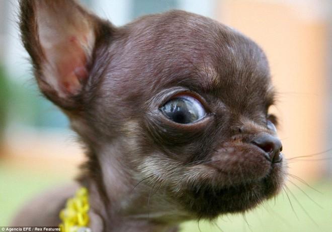 Ngắm nhìn chú chó Chihuahua nhỏ nhất thế giới ảnh 2