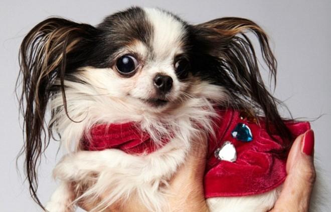 Ngắm nhìn chú chó Chihuahua nhỏ nhất thế giới ảnh 6