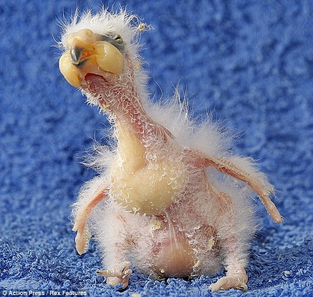 Chú vẹt con xấu xí nhất thế giới ảnh 2