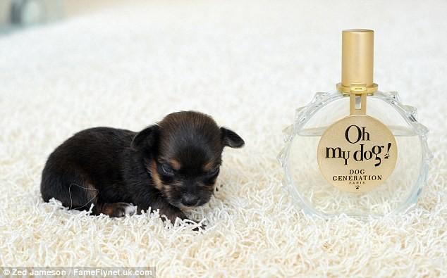 Ngắm nghía chú chó nhỏ nhất nước Anh ảnh 3