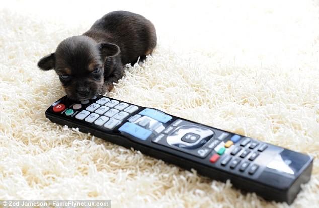 Ngắm nghía chú chó nhỏ nhất nước Anh ảnh 4