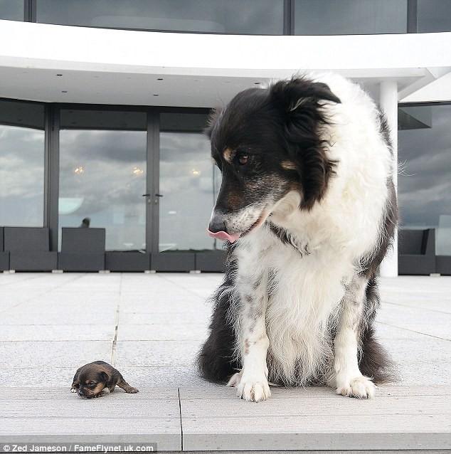 Ngắm nghía chú chó nhỏ nhất nước Anh ảnh 5