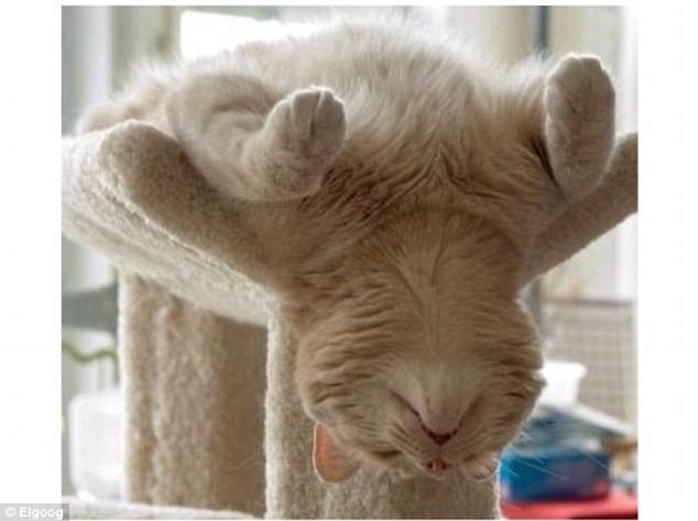 """Những tư thế ngủ """"khó đỡ"""" của các chú mèo ảnh 2"""